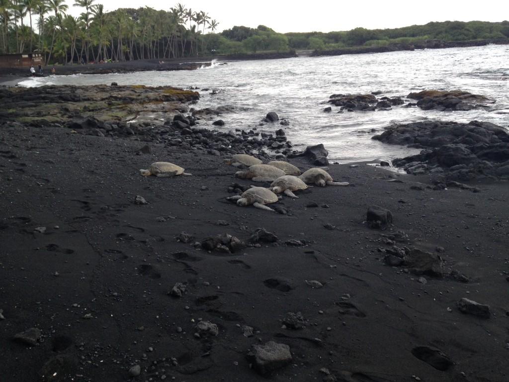 Sea Turtles at the Black Sand Beach